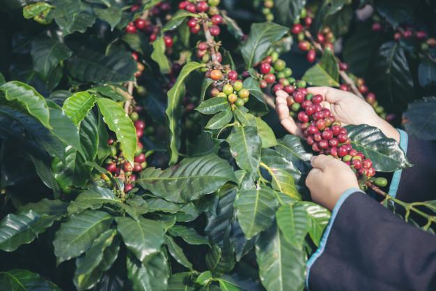 A kávé feldolgozása kávéültetvényeken történik